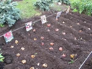 Особенности высадки лилий в грунт