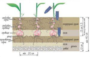 Как сырастить лилии