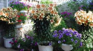 Луковицы лилий для выращивания