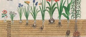 Как правильно разводить лилии