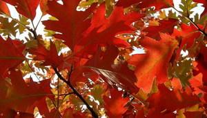 Как выглядит красный дуб