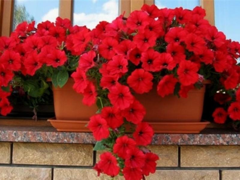 Цветы петунии и выращивание