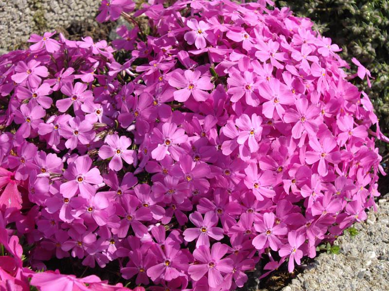 Теневыносливые цветы многолетники с