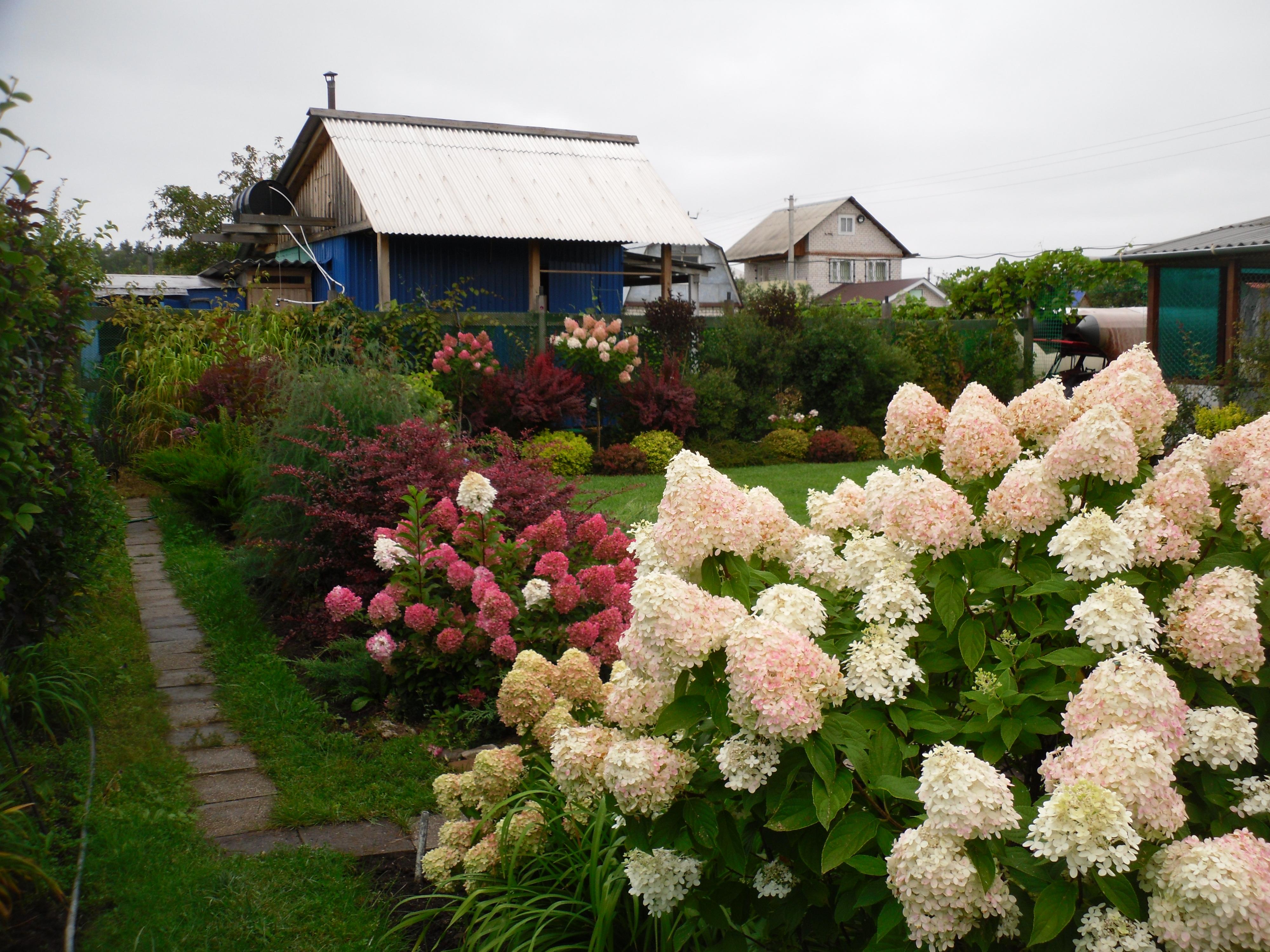 Гортензии в саду дизайн