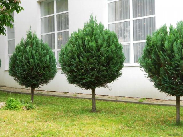 Как сделать хвойное дерево 98