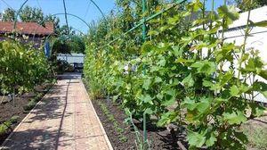 Шпалера для винограда искусство направлять