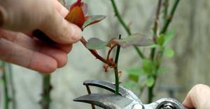 Догляд за трояндами восени підготовка до зими