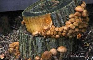 Заражение пня грибами - выгодное решение