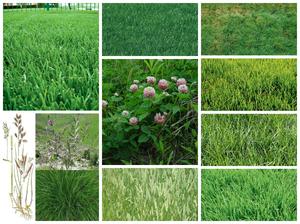 Какая бывает трава для газона