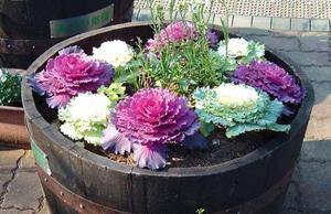 Пошаговая инструкция выращивания декоративной капусты