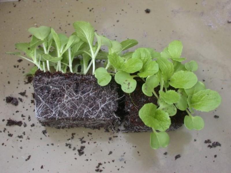 Выращиваем рассаду капусты.
