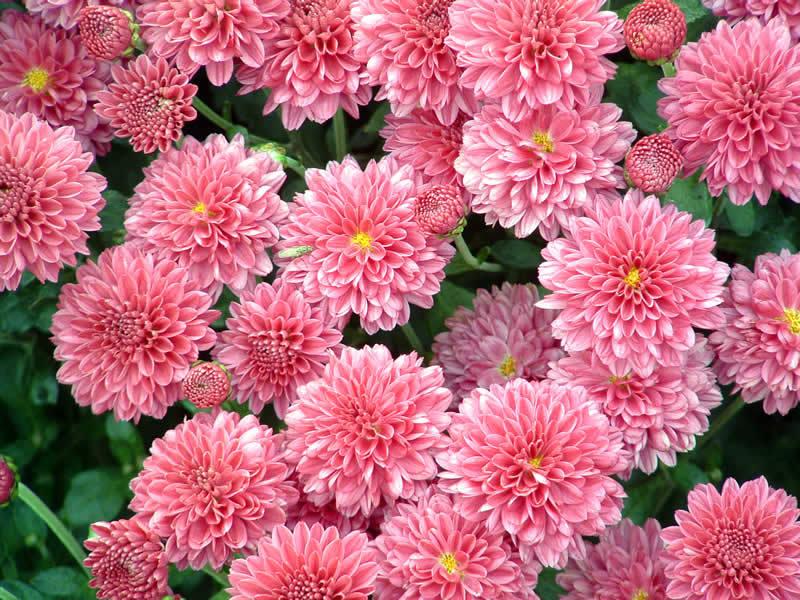 Какие цветы посадить можно семенами осенью фото