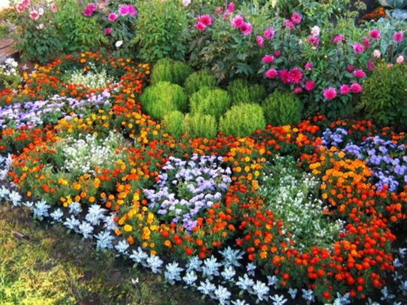Цветы садовые однолетние, фото и названия 47