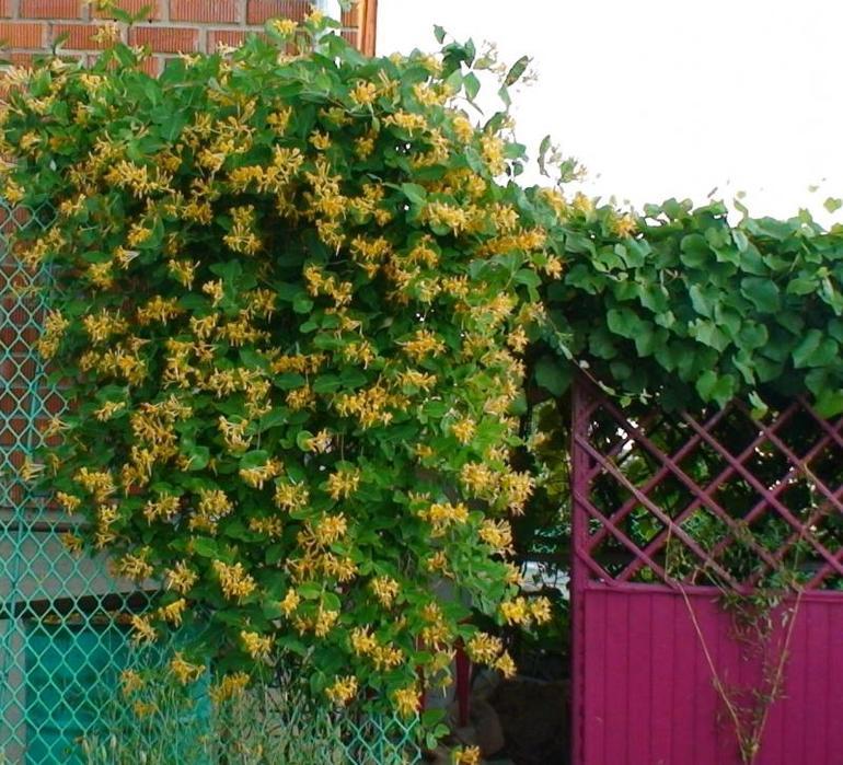 многолетние лианы для сада фото и названия разное