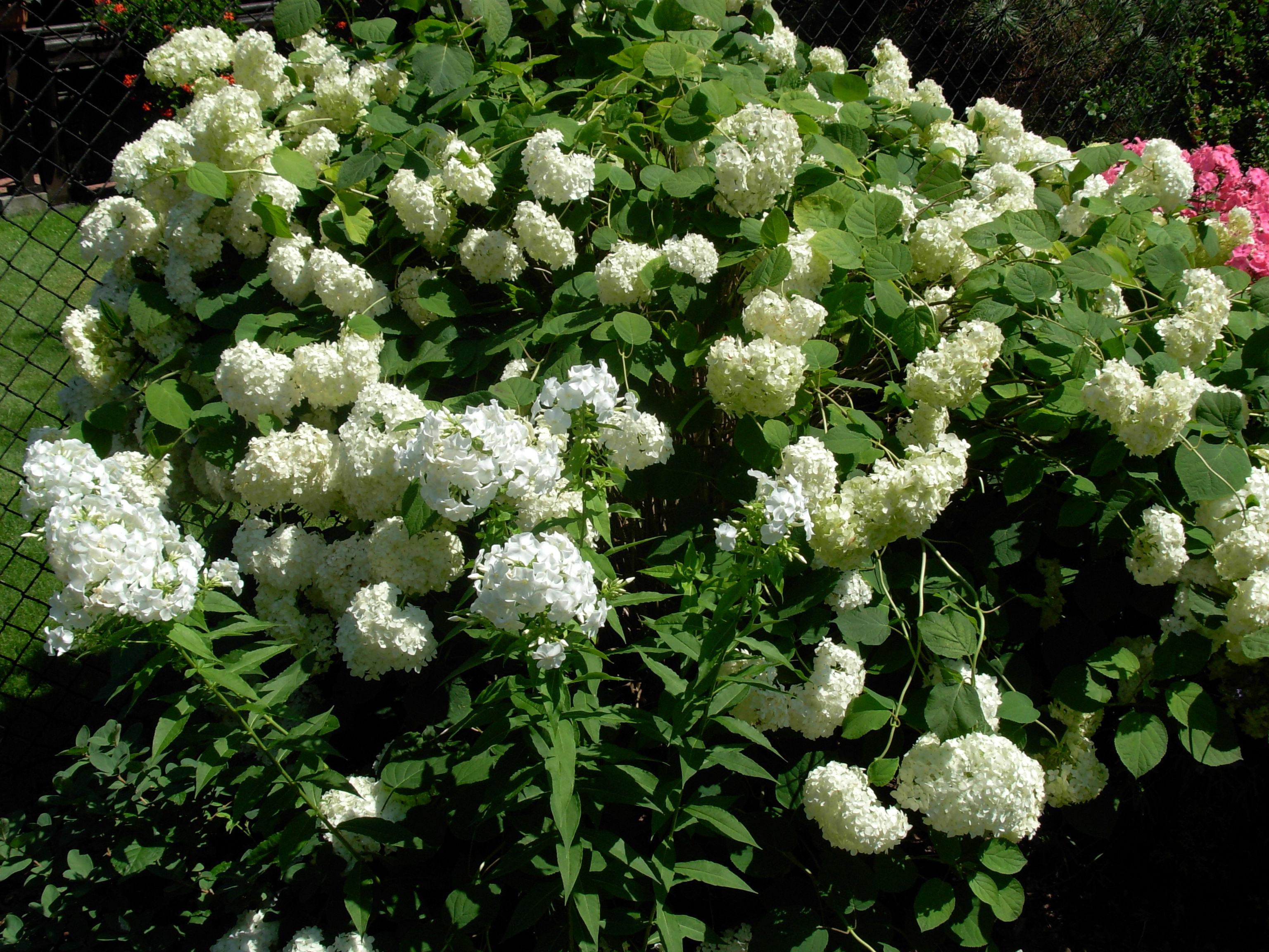 Белые цветы для клумб название