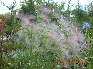 Злаковые растения - многолетние травы сорняки культурные плоды фото видео