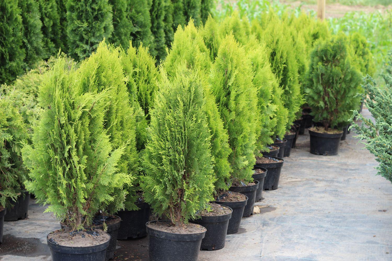 печать фотографий вечнозеленые садовые растения фото и названия опубликовала фотографию
