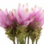 цветы куркумы