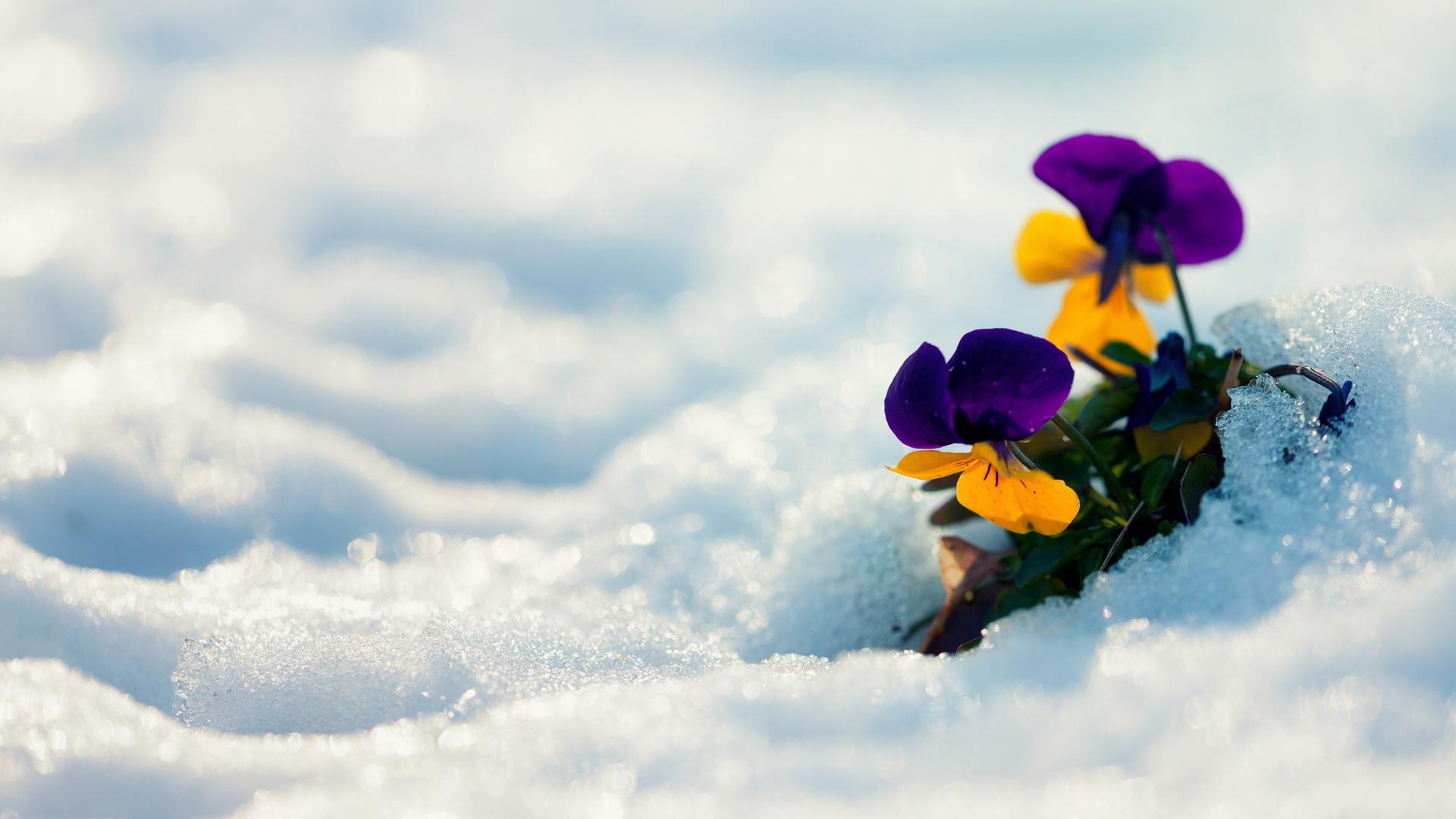 ювелиру свойственно картинки на весь экран цветы под снегом решили составить