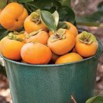 https://www.botanichka.ru/wp-content/uploads/2016/12/Persimmon-Tree-04.jpg