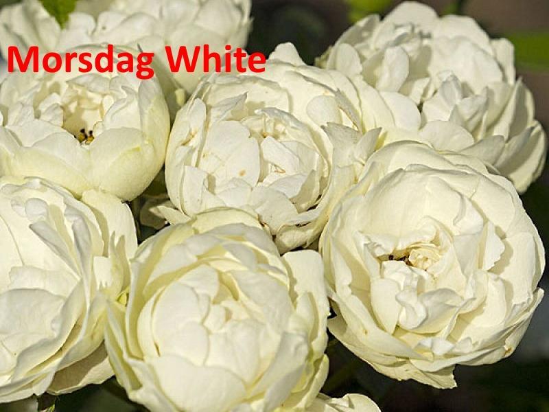 Morsdag White