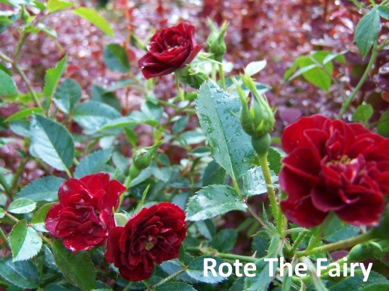 Rote The Fairy