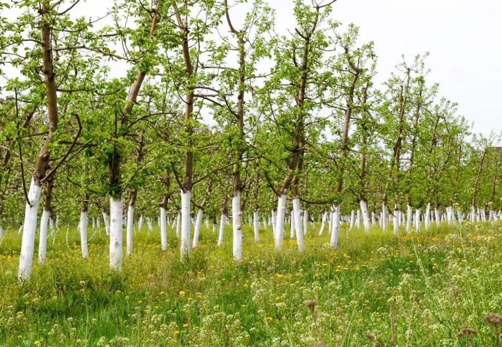 беленые деревья в саду