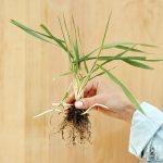 https://assets.bhg.com/bhg/styles/fp_1x1_1080_wm/public/images/2018-10/quackgrass-grassy-perennial-weed-detail-b445c9fb_0.jpg?u_lzoaoKaKE9t2d_JAfcHrn.sGqAGuAo