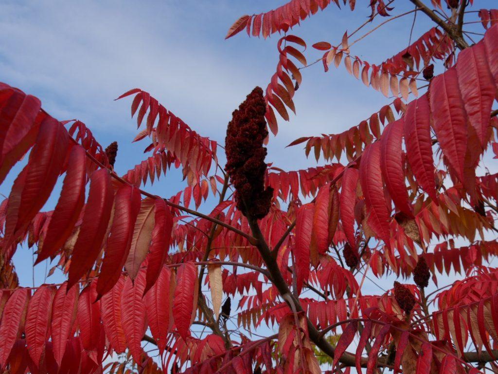 уксусное дерево фото и описание покрытые