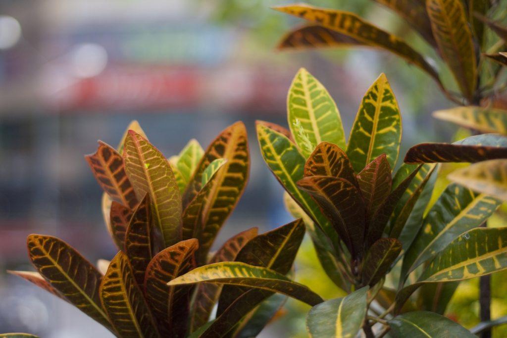 пестрые листья кротона