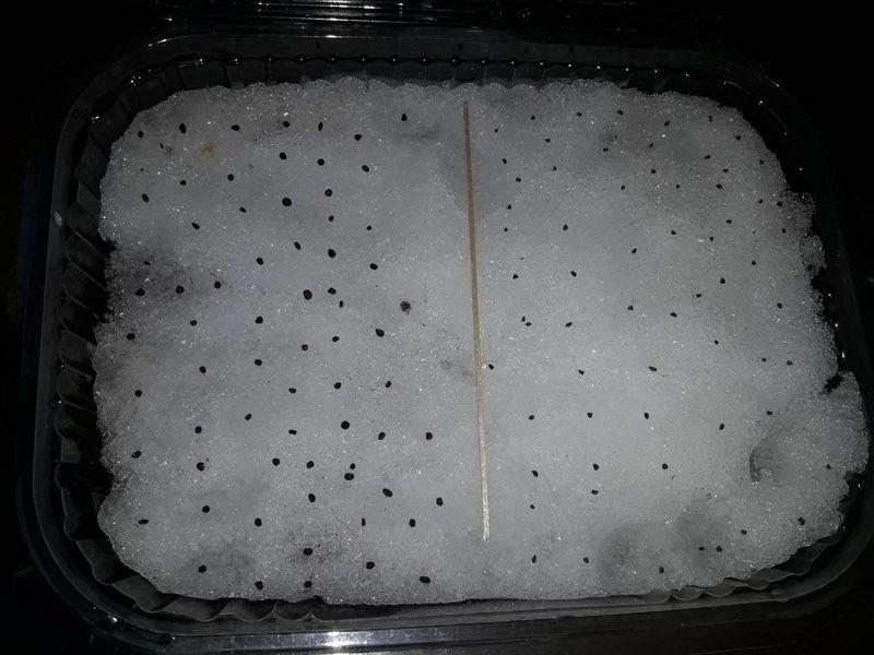 Посев примулы на снег