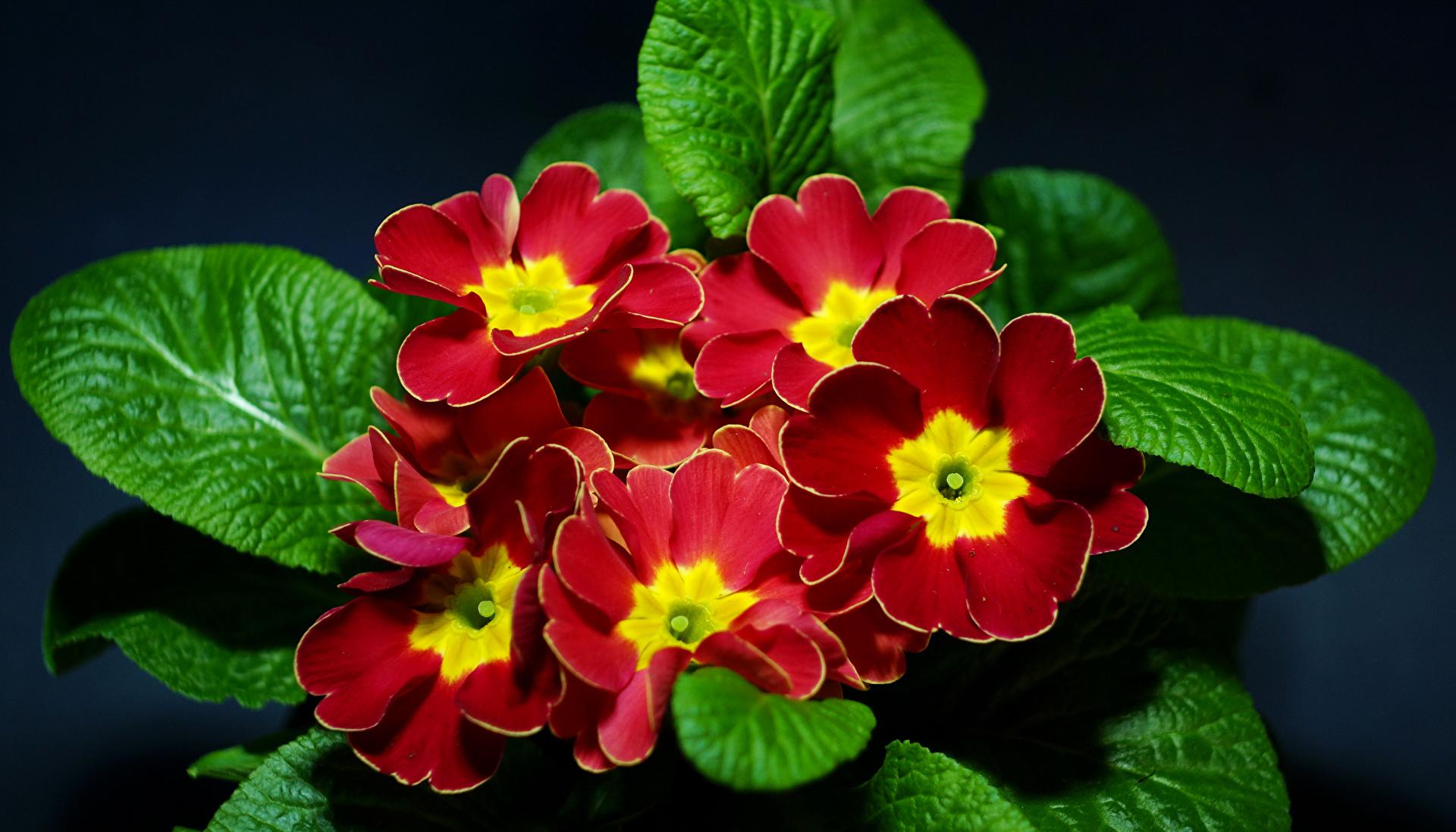 Примулы фото цветов