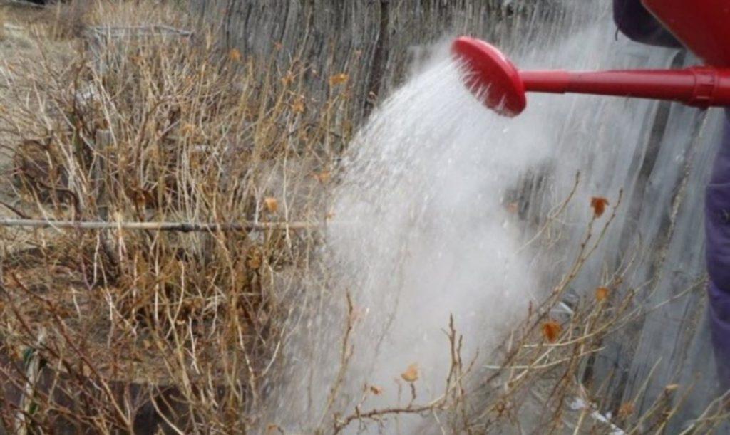 ранней весной поливаем смородину кипятком
