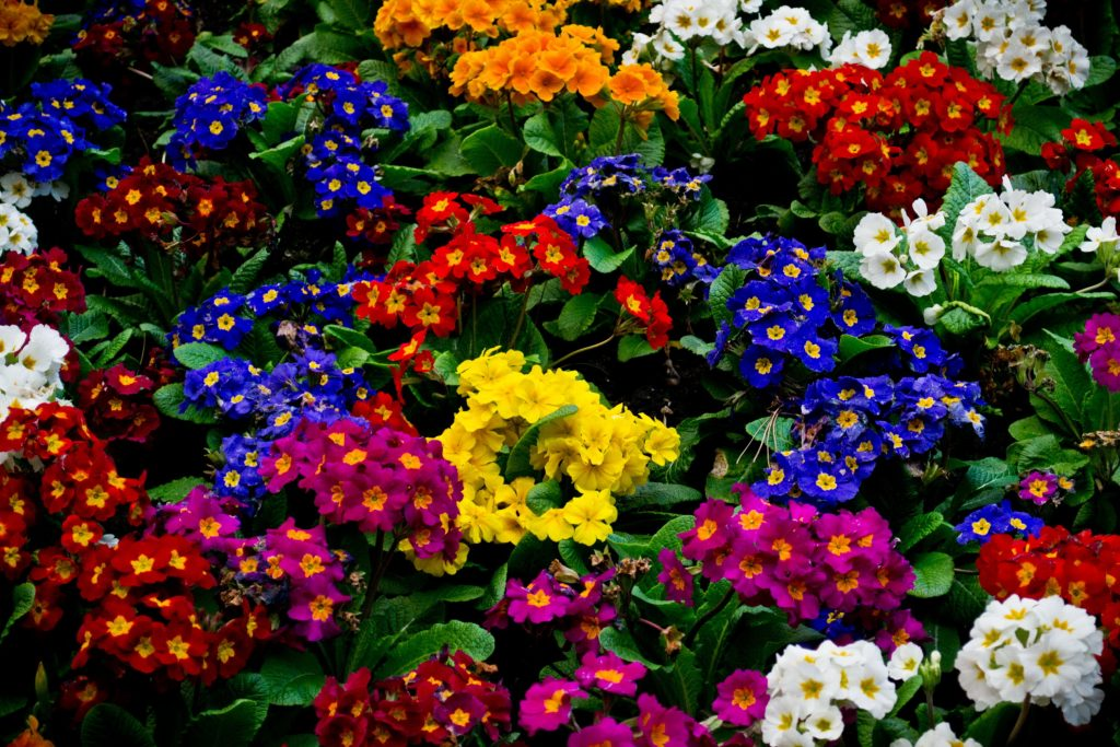 Разноцветие примул