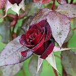Уход за розами осенью зимой ❤ 2019 Подготовка и укрытие на зиму