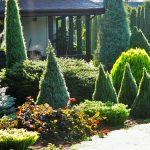 Канадская ель: фото, внешний вид, описание, сорта, уход