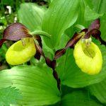 Венерин башмачок: фото, виды, выращивание, уход и пересадка