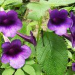Ахименесы: фото цветка, виды, описание, посадка, содержание и уход