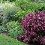 Вейгела: фото, виды, особенности посадки и выращивания