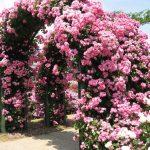 Вьющиеся розы: фото, описание, виды 2019, посадка и уход