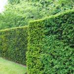 Быстрорастущая живая изгородь 🌿 фото кустарников, описание, сравнение