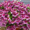 Королевская герань или пеларгония: фото растения, особенности