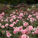Роза флорибунда: фото, сорта, названия, посадка, уход, размножение