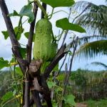 Огород в тропиках: фото участка, история, климат Мадагаскара