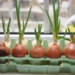 Лук на подоконнике: фото, сорт, как выращивать, вкус, советы