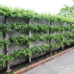 Деревья на шпалерах: фото, идеи дизайна сада, выбор растений